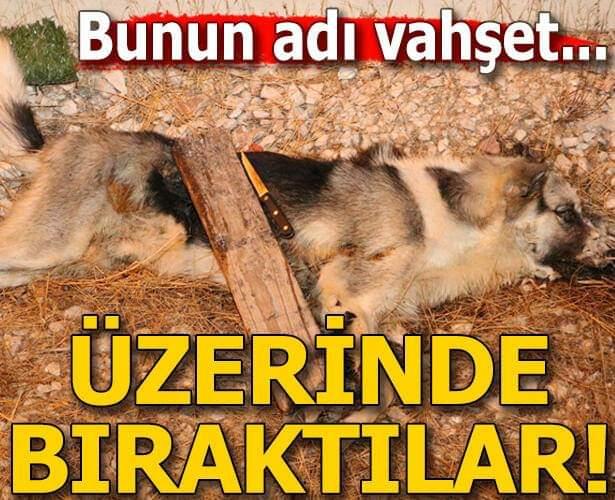 Antalya'da sokak köpeği, kimliği belirsiz kişi ya da kişilerce bıçaklanarak öldürüldü