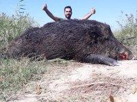 Aydın'da vurulan dev domuz görenleri şaşırttı! Tam 300 kilo
