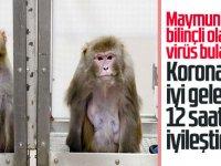 Maymunlara virüs bulaştırıldı Koronaya iyi gelen ilaç 12 saatte iyileştirdi